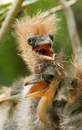 Tri-color Heron Chicks