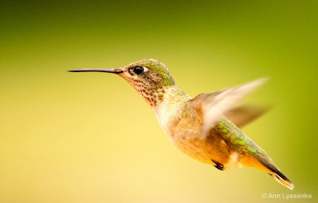 Female Calliope Hummingbird Natural Light