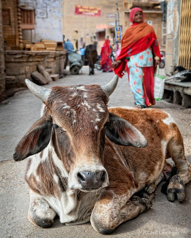 Holy Cow, Rajasthan, India - ID: 11921554 © Jeff Lovinger