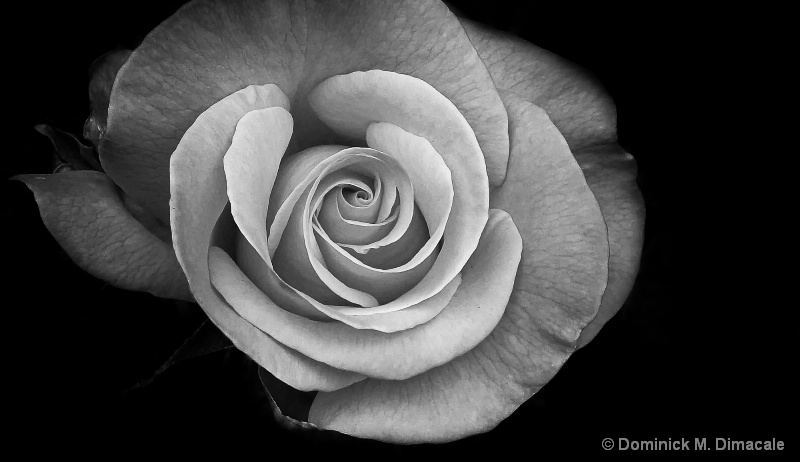 ~ ~  THE BLACK & WHITE ROSE  ~ ~ - ID: 11931007 © Dominick M. Dimacale