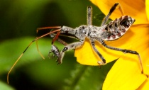 insect on black-eyed susan