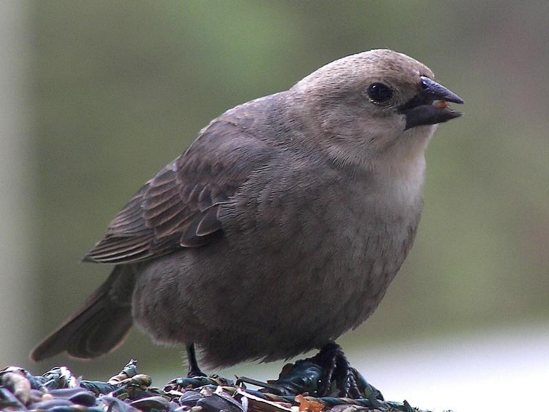 Posing Brown-headed Cowbird