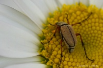 Insect on wild daisy