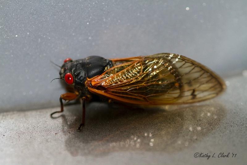 Red Bug Eyed Cicada