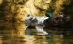 Ducks in Shallow ...
