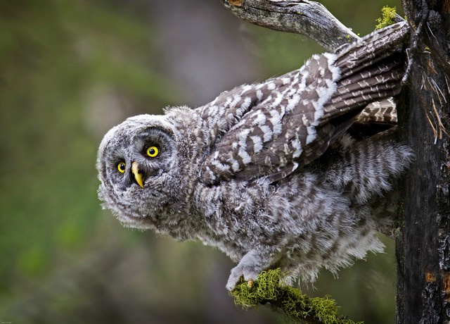 great grey owl - ID: 11960607 © Norman W. Dougan