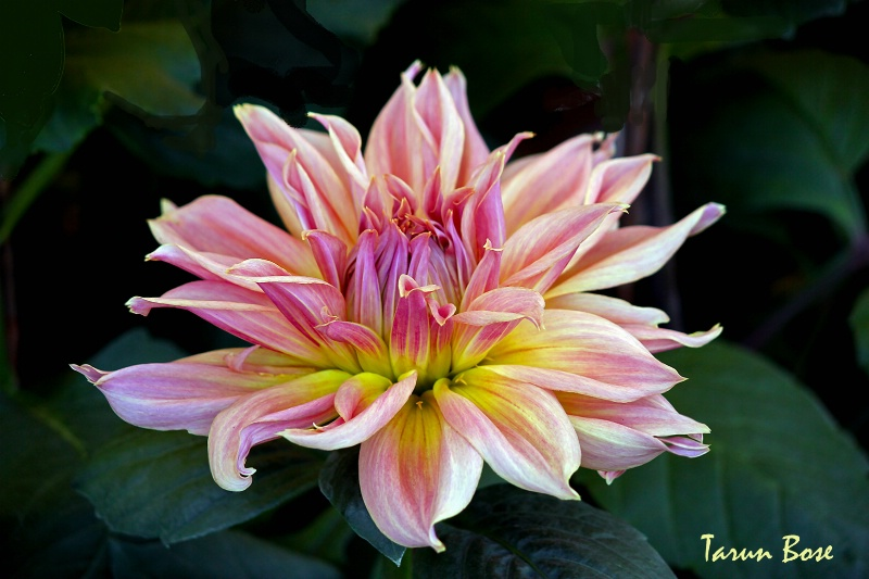 Multicoloured Dahlia.