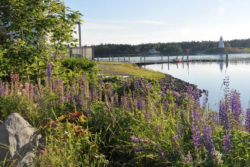 Lupine in Lubec, Maine - ID: 11965516 © Carla Daigle
