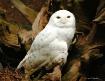 Serious Snowy Owl