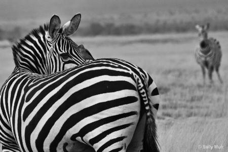 zebra and bird