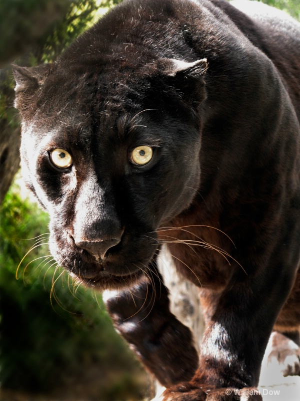 Boo Black Leopard 01-Panthera pardus - ID: 11972876 © William Dow