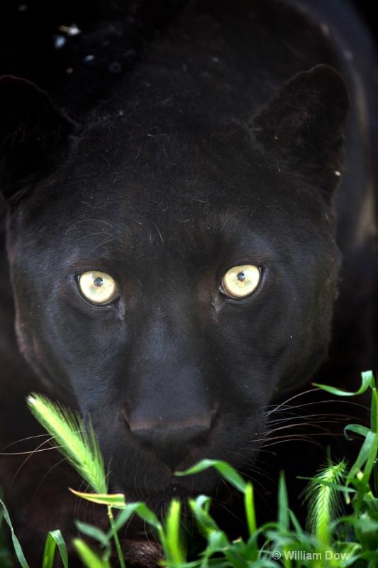 Boo Black Leopard 02-Panthera pardus - ID: 11972879 © William Dow