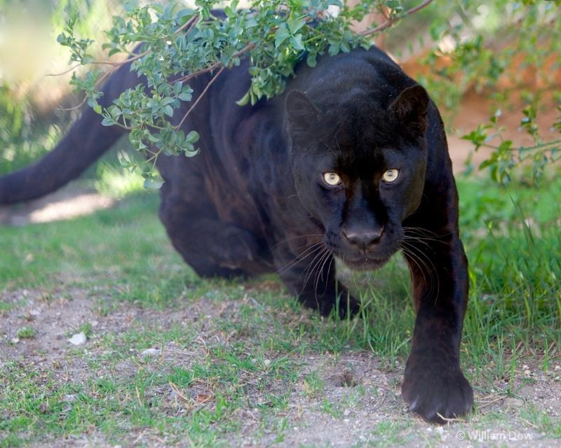 Boo Black Leopard 03-Panthera pardus  - ID: 11972883 © William Dow