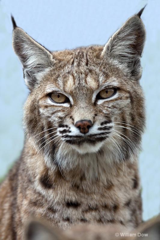 Cassie Bobcat-Felis rufus - ID: 11972886 © William Dow