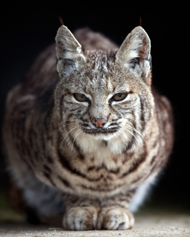 Elsie Bobcat 2-Bobcat-Felis rufus - ID: 11972889 © William Dow