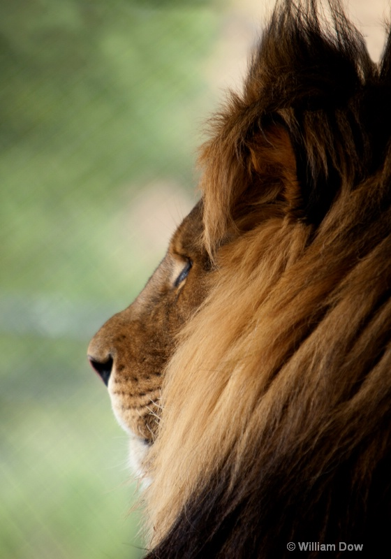 Freedom Lion 2-African lion-Panthera leo - ID: 11972890 © William Dow