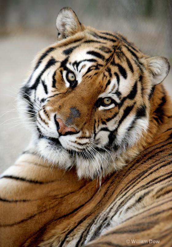 Garth Tiger 01-Tiger-Panthera tigris - ID: 11972894 © William Dow