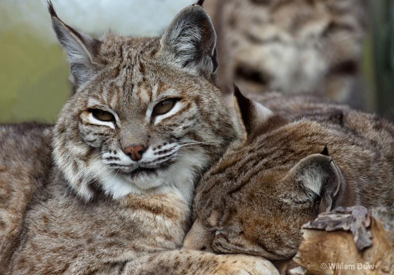 Jazzy & Cassie-Bobcat-Felis rufus - ID: 11972911 © William Dow