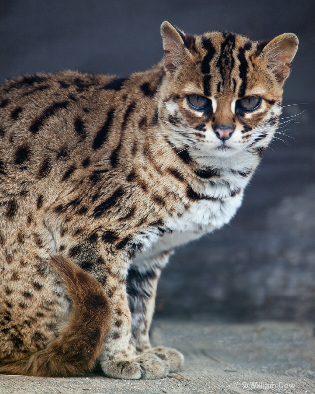 Asian Leopard Cat-Felis bengalensis-To Be 2 - ID: 11972925 © William Dow