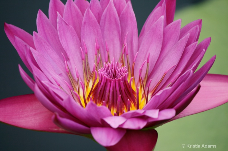 Water Lily 11-1