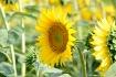 Sunflower Field 2...