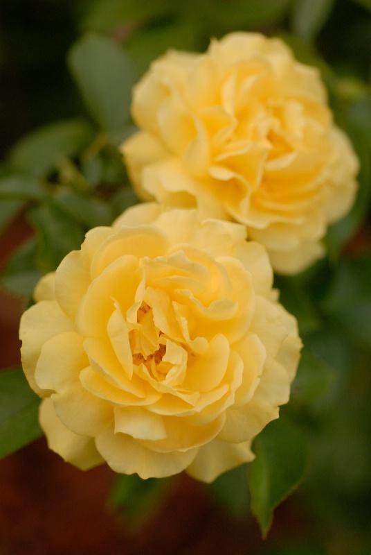 Floribunda Rose: Julia Child - ID: 11989160 © Kathleen McCauley