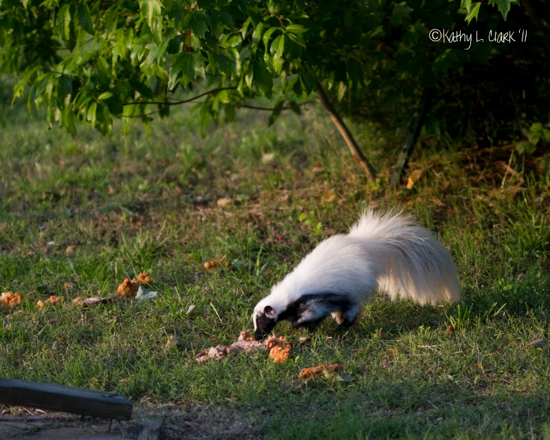 Skunk Enjoying a Meal