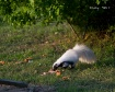 Skunk Enjoying a ...