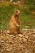 Prairie Dog on Al...