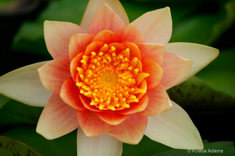 Water Lily 11-5