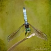 dragonfly...strik...