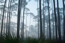 Forest Intimacies 2 - Slash Pine Sable Forest 2