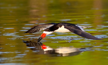 Black Skimmer Low