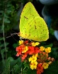 Yellow Sulpher Bu...