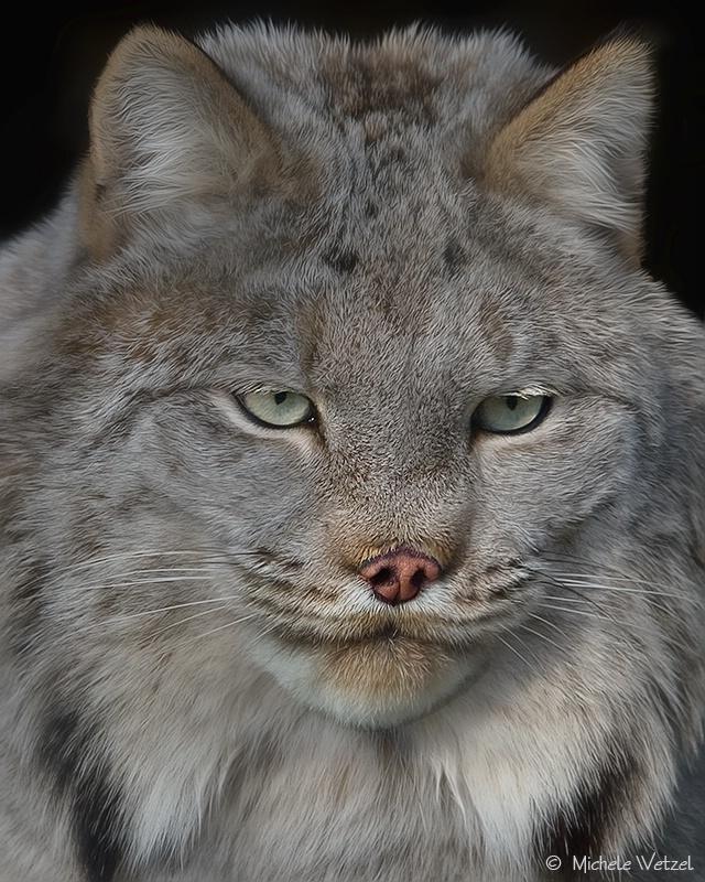 Portrait of a Canadian Lynx