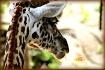 Maasai Giraffe......
