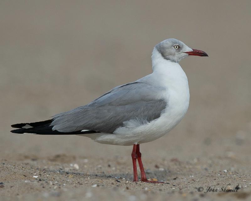 Grey-hooded Gull -  Aug 1st, 2011 - ID: 12052372 © John Shemilt
