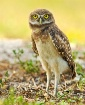 Burrowing owl in ...