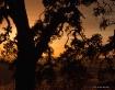 sunset oak silhou...