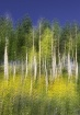 Quaking Aspens Am...