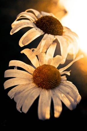 "Sunny ""Daysies"""