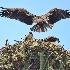 © Leslie J. Morris PhotoID # 12069764: Osprey bringing in lunch for family