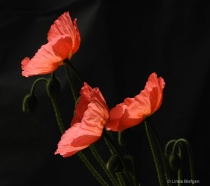 Sun Kissed Poppies