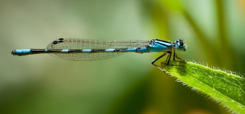 Blue Damsel - ID: 12080671 © Michael Kelly