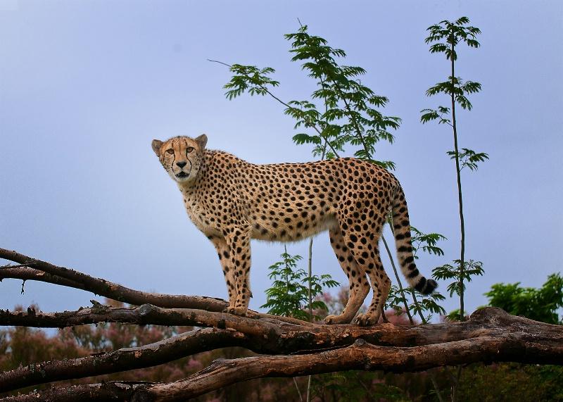 Cheetah - Indianapolis Zoo