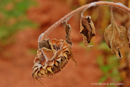 Patricia's Sunflower