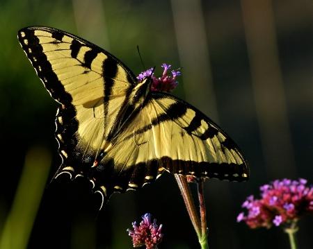 Swallowtail Sips