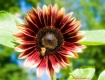 The Red Sunflower