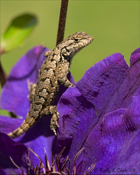 Fence Lizzard