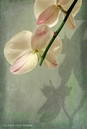 Orchids and Shadows III